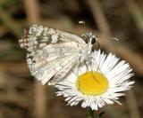 Common Checkered Skipper - Pyrgus communis