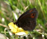 Common Alpine - Erebia epipsodea