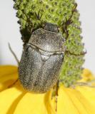 Phyllophaga lanceolata
