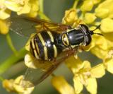 Syrphid Fly - Chrysotoxum  sp.
