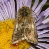 Moth - Schinia sp.