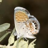 Western Pygmy Blue - Brephidium exile