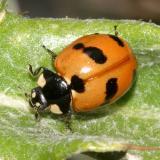 Coccinella monticola