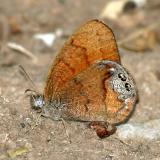 Canyonland Satyr - Cyllopsis pertepida