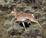 Pronghorned Antelope - Antilocapra americana