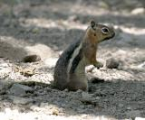 Golden-mantled Ground Squirrel - Spermophilus lateralis