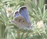 Boisduval's Blue - Plebejus icarioides (male)