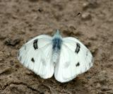 Checkered White - Pontia protodice (male)