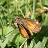 Taxiles Skipper - Poanes taxiles (female)