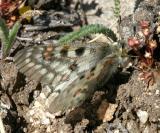 Rocky Mountain Parnassian - Parnassius smintheus (female)