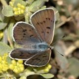 Blue Copper - Lycaena heteronea (female)