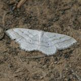 7169 - Soft-lined Wave - Scopula inductata