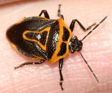 Two-spotted Stink Bug - Perillus bioculatus