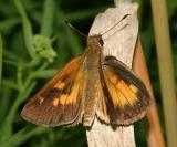 Broad-winged Skipper - Poanes viator  - male