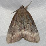 8785 - Residua Underwing - Catocala residua