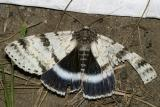 8803 -- White Underwing Moth -- Catocala relicta