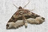 7388 -- Red Twin-spot Moth -- Xanthorhoe ferrugata