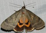 8834 -- The Sweetheart Underwing Moth -- Catocala amatrix
