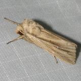 10446 -- Many-lined Wainscot Moth -- Leucania multilinea