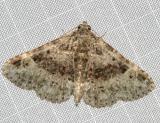8500 - Four-spotted Fungus Moth -- Metalectra quadrisignata