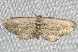 7445 - Brown Bark Carpet Moth -- Horisme intestinata