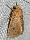9373 - Yellow Three-spot - Agroperina helva