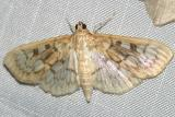 5275 - Bold-feathered Grass Moth - Herpetogramma pertextalis