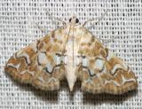 4748 -- Pondside Pyralid Moth -- Munroessa icciusalis