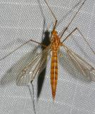 Tiger Crane Fly (female) Nephrotoma sp.