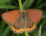 Bronze Copper - Lycaena hyllus (male)