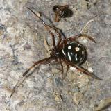 Immature Northern Black Widow - Latrodectus variolus
