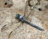 Great Blue Skimmer - Libellula vibrans (male)