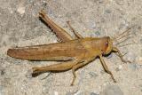 Spotted Bird Grasshopper - Schistocerca lineata