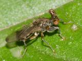 Stalk-eyed Fly - Diopsidae - Sphyracephala brevicornis