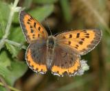Bronze Copper - Lycaena hyllus (female)