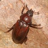 Platycerus virescens (female)