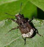 Fungus Weevils - Anthribidae