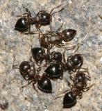 Acrobat Ants - Crematogaster cerasi