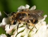 Mining Bees - Andrenidae