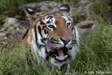 Sumatran Tiger - Indy