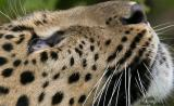The Eye of The Amur Leopard (view at Original)