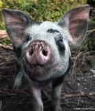 20050716 A Pig With No Name - Pet or Pork?