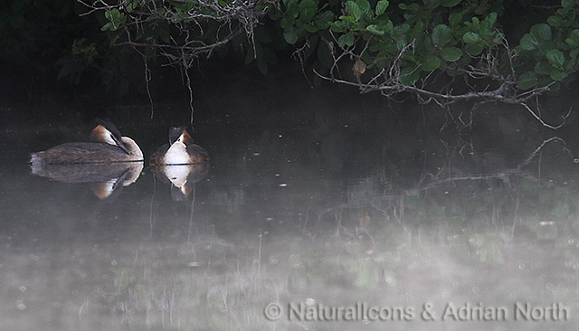Great Creasted Grebes in Morning Mist
