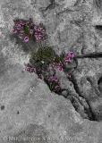 Purple Flower in Rock