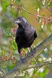 Carrion Crow in tree