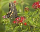 KRV_0805_Swallowtail Butterfly 2.jpg