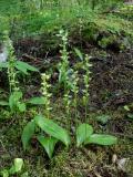 Platanthera obtusata group