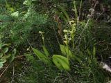 Liparis loeselii group