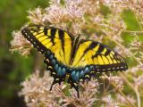 Tiger swallowtail butterfly (Papilio glaucas)  on Joe Pye weed (Eupatorium fistulosum)