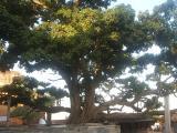 Kadamba tree at VrindhAvan at VrindhAvan